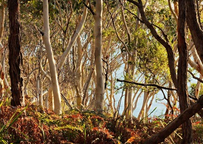 Scribbly Gums – White Sands Walk Vincetia NSW Australia